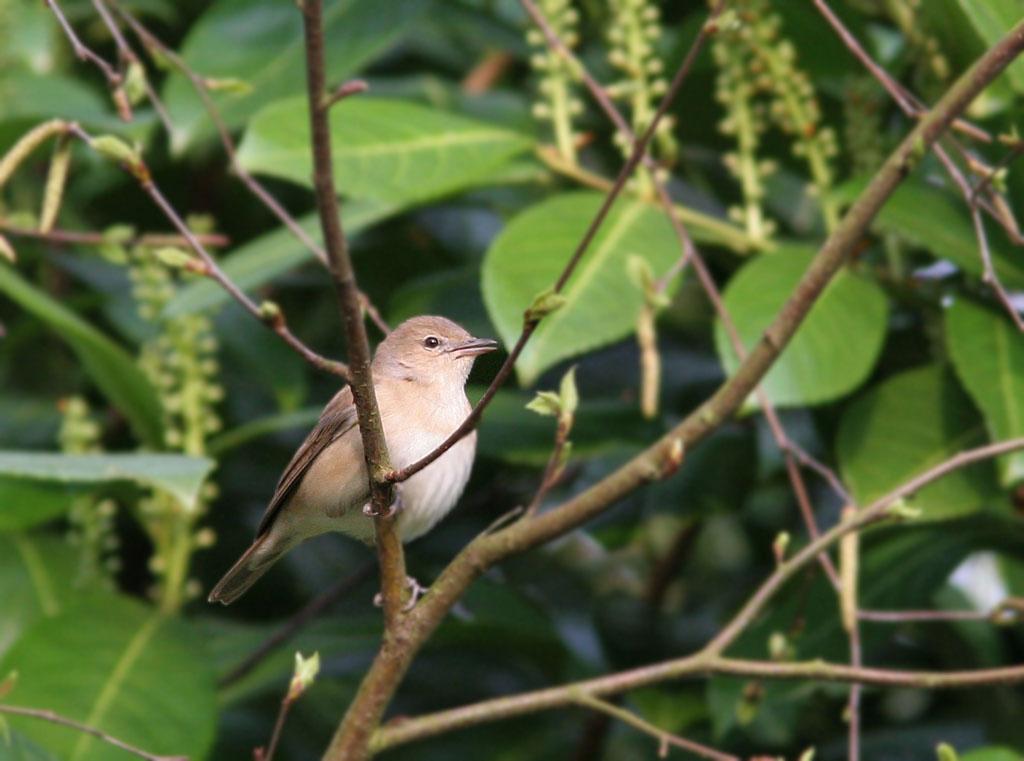 Tuinfluiter - Garden Warbler 21/04/2006. Fluisterzang.