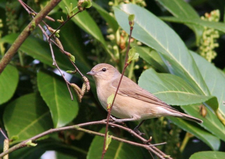 Tuinfluiter - Garden Warbler 21/04/2006.