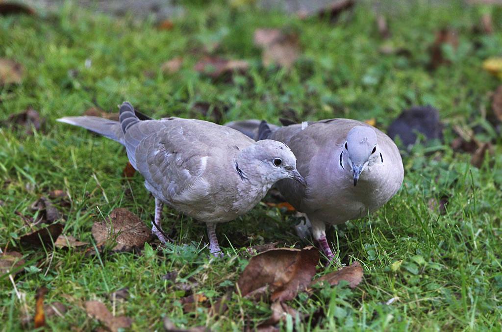 Turkse tortel, Collared Dove, Streptopelia decaocto, foerageren, foraging, juveniel, juvenile