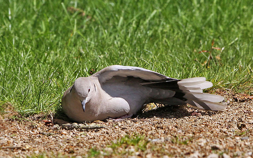 Turkse tortel  -  Collared Dove 7/05/2014. Koestert zich in de zon.