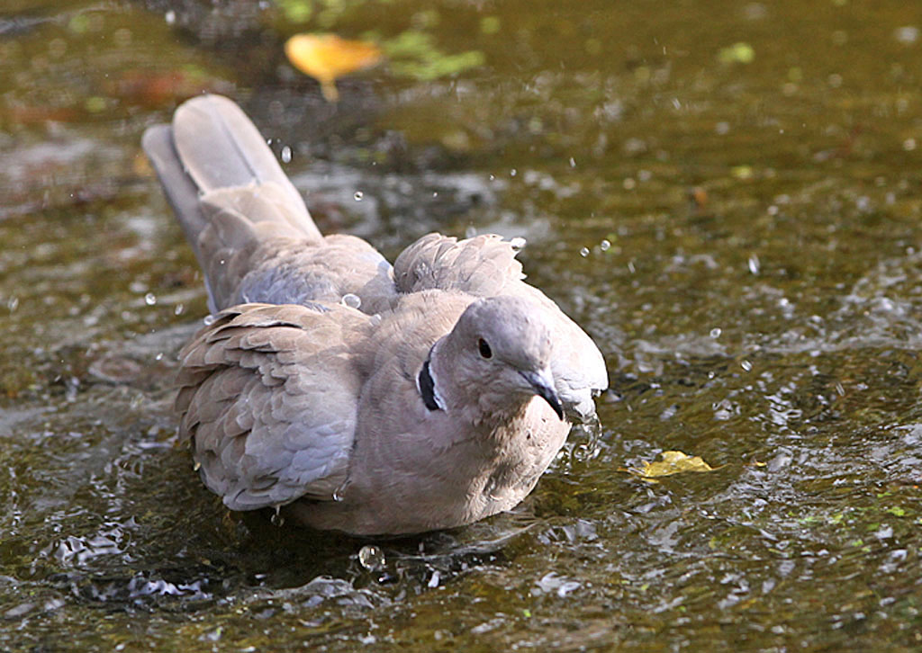 Turkse tortel, Collared Dove, Streptopelia decaocto, baden, bathing