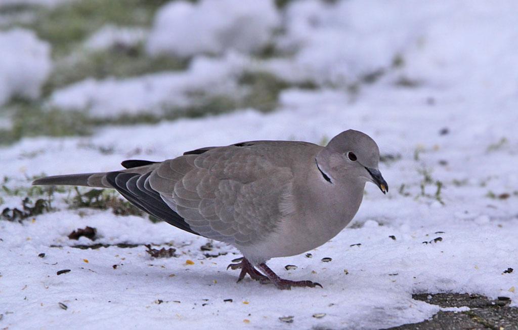 Turkse tortel, Collared Dove, Streptopelia decaocto, foerageren, foraging, sneeuw, snow