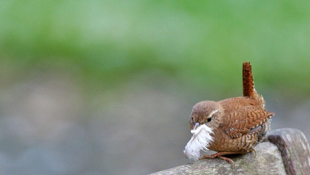 Winterkoning 6/05/2005. Vrouwtje zorgt voor binnenafwerking nest.