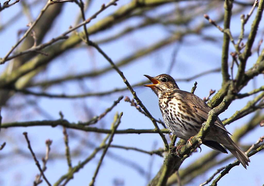 Zanglijster -  Song Thrush 11/03/2017.
