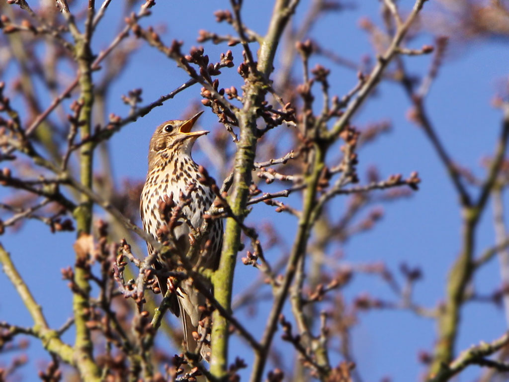 Zanglijster -  Song Thrush 13/03/2017.