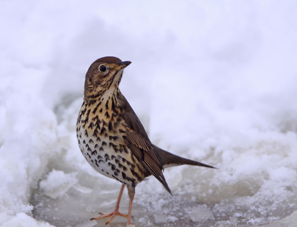 Zanglijster, Song thrush, Turdus philomelos, tuin, garden, sneeuw, snow, ijs, ice, winter