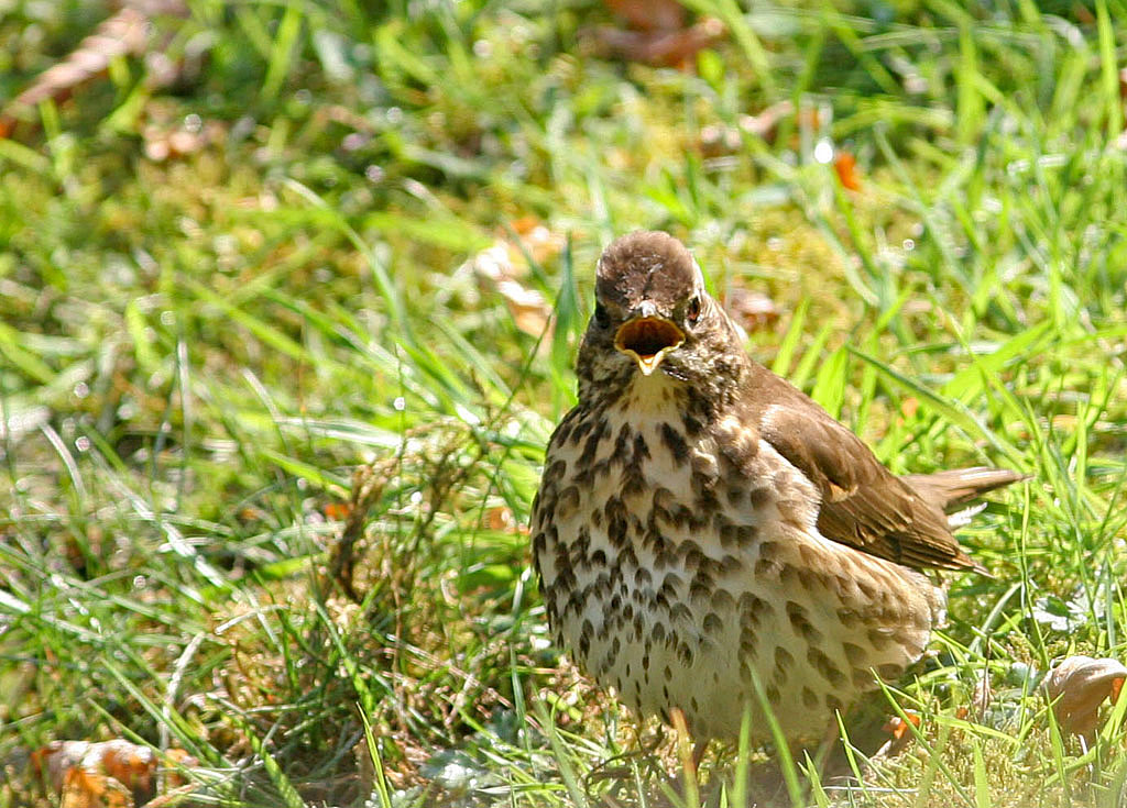 Zanglijster -  Song Thrush 25/04/2007.