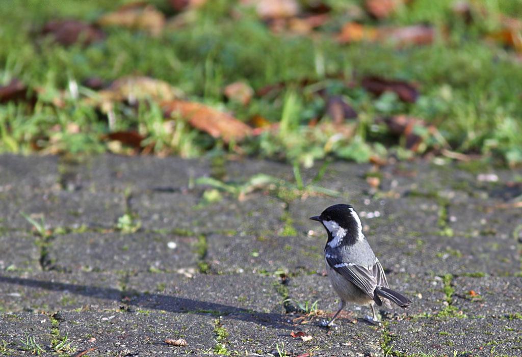 Zwarte mees  -  Coal Tit  22/11/2008.