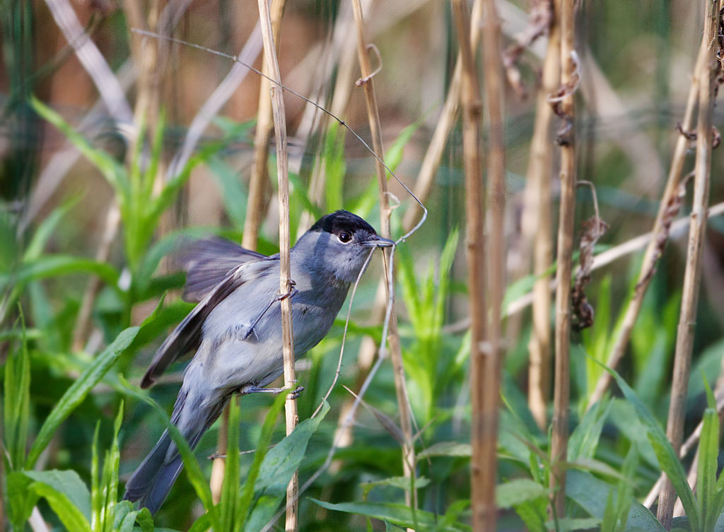 Zwartkop, Sylvia atricapilla, blackap, nestelen, nesting, grashalm, blade of grass