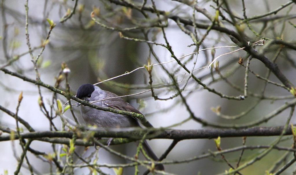 Zwartkop 27/04/2012. Lange graspijlen verzamelen om nestje te weven. Man neemt ruwbouw voor zijn rekening.