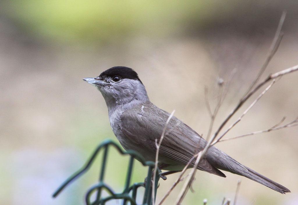 Zwartkop 28/04/2012. Spinrag verzamelen om nestje vast te sjorren tussen takjes.