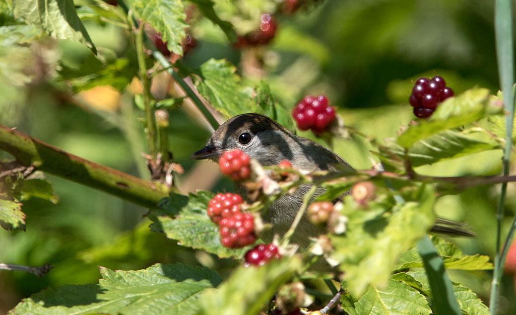 Zwartkop, Sylvia atricapilla, zwartkop, blackap, braam, blackberry