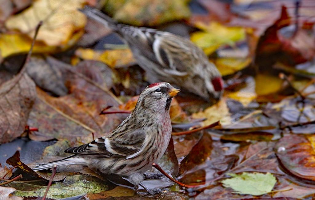 Barmsijs - Lesser Redpoll 12/11/2010. Dorstig van die berken- en elzenzaden.