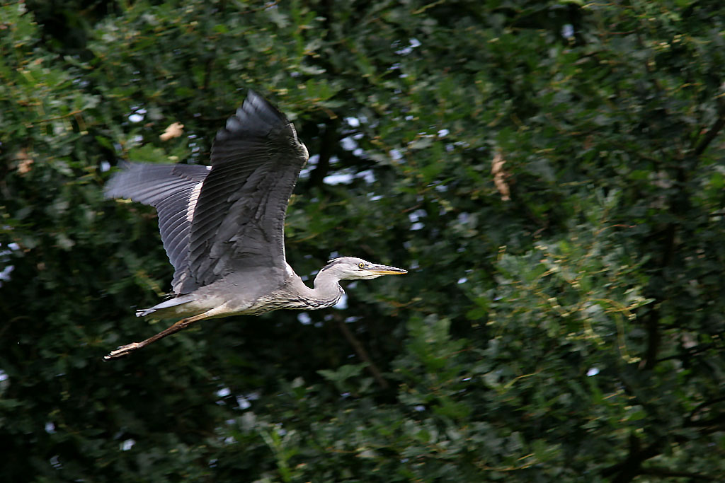 Blauwe reiger, Grey Heron, Ardea cinerea, vliegen, flying