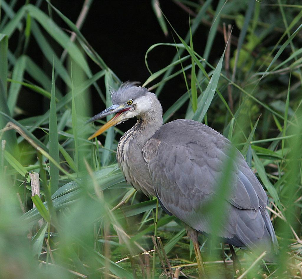 Blauwe reiger, Grey Heron, foerageren, foraging