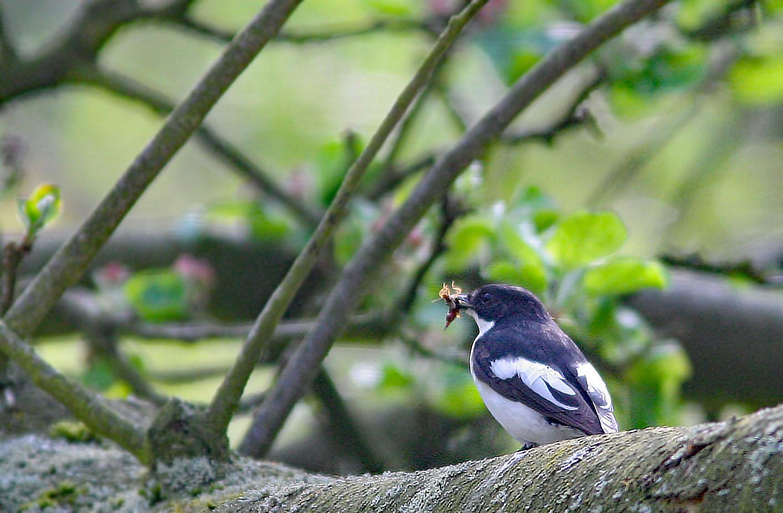 Bonte vliegenvanger - Pied Flycatcher 3/05/2006. Mannetje met gevangen oorworm.