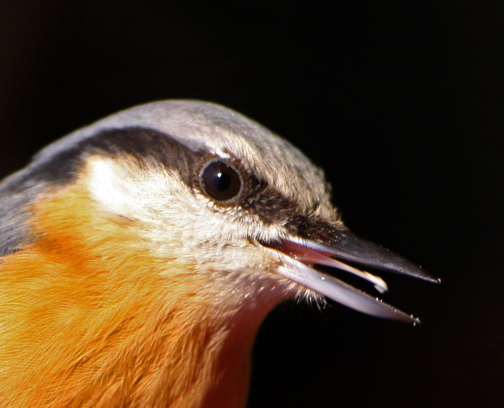 Boomklever - Nuthatch 10/12/2011.