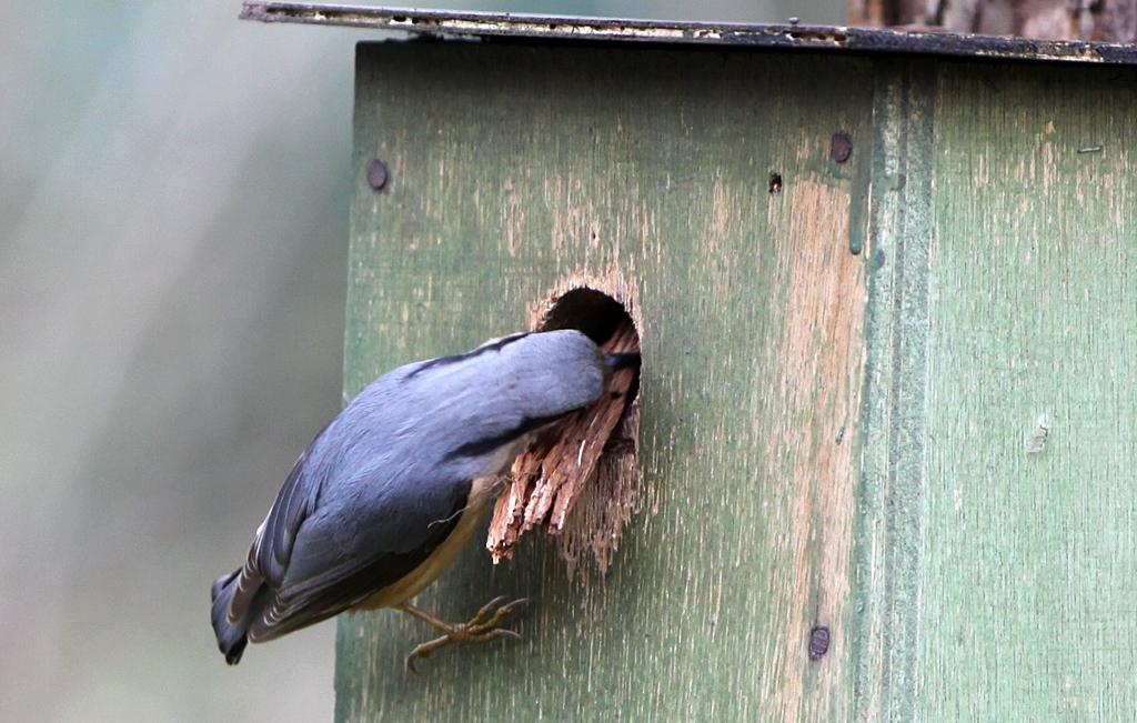 Boomklever - Nuthatch 14/03/2011. Nest bestaat uit bodempje schors.