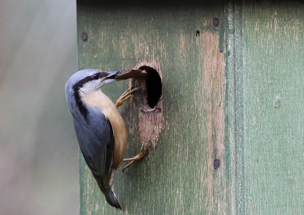 Boomklever 14/03/2011. Nest bestaat uit bodempje schors.