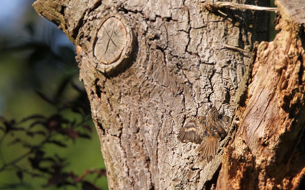 Boomkruiper - Short-toed Treecreeper 8/05/2016. Zonnen! Perrfect gecamoufleerd.