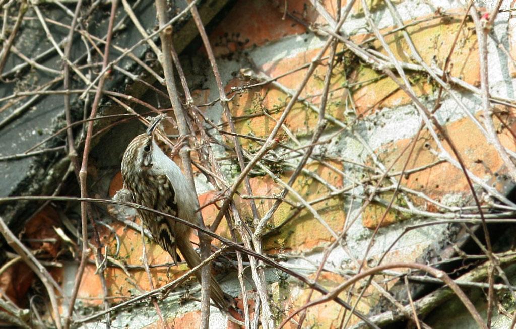 Boomkruiper - Short-toed Treecreeper 22/03/2010. Materiaal voor nest onder gevelpannen.