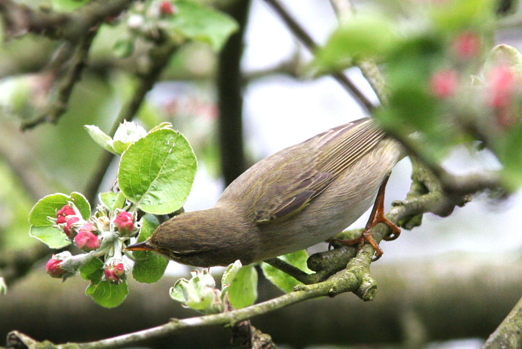 Fitis, Willow Warbler, Phylloscopus trochilus, foerageren, foraging, appelbloesem, apple blossom, tuin ,garden