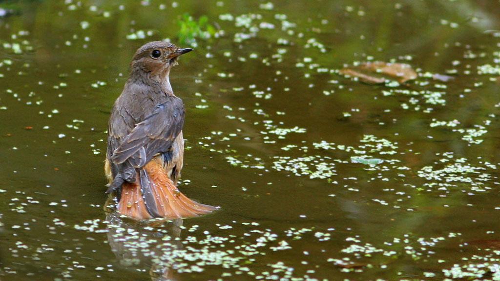 Gekraagde roodstaart, Redstart, Phoenicurus phoenicurus, baden, bathing