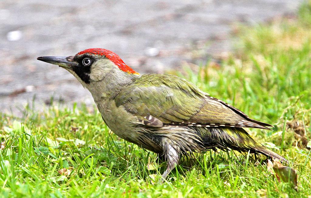 Groene specht - Green Woodpecker 12/06/2013. Nat gras.