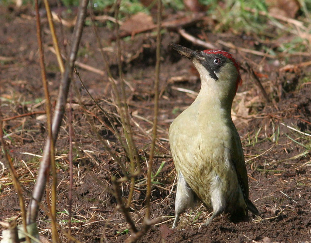 Groene specht - Green Woodpecker 28/02/2007. Even pauzeren bij het delven naar miertjes.