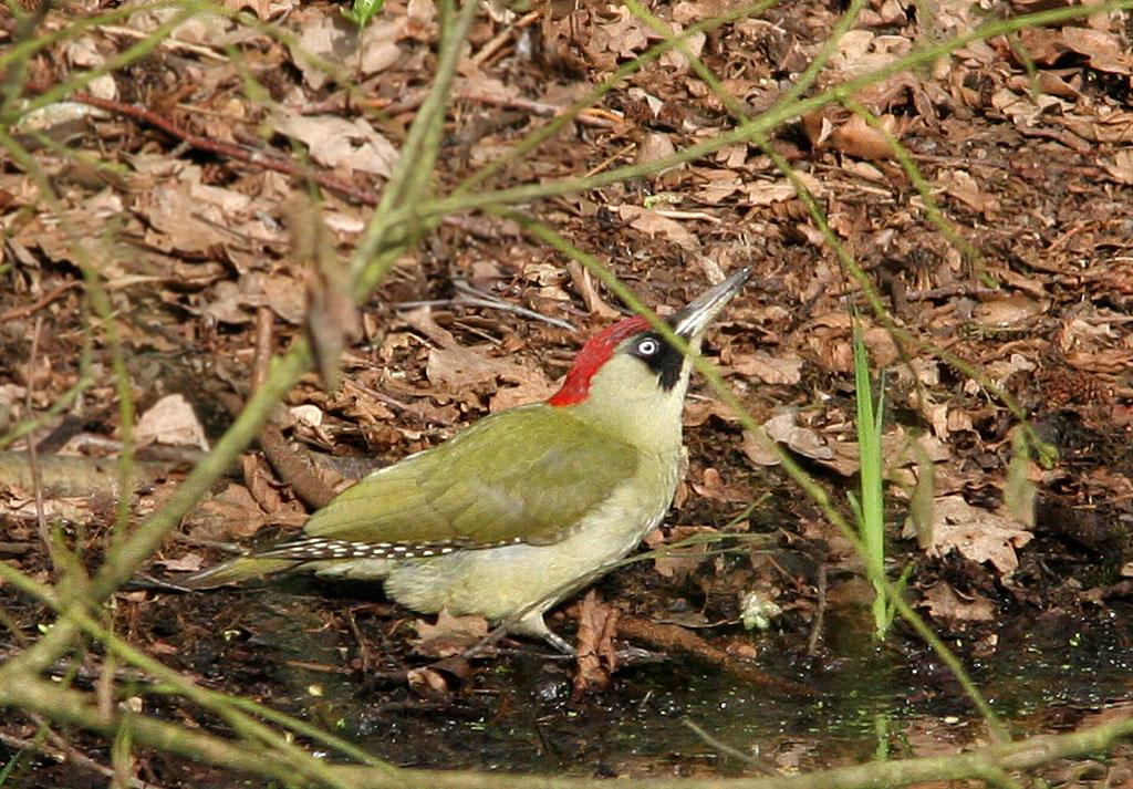 Groene specht - Green Woodpecker 28/04/2006. Vrouwtje drinkt aan grote poel.