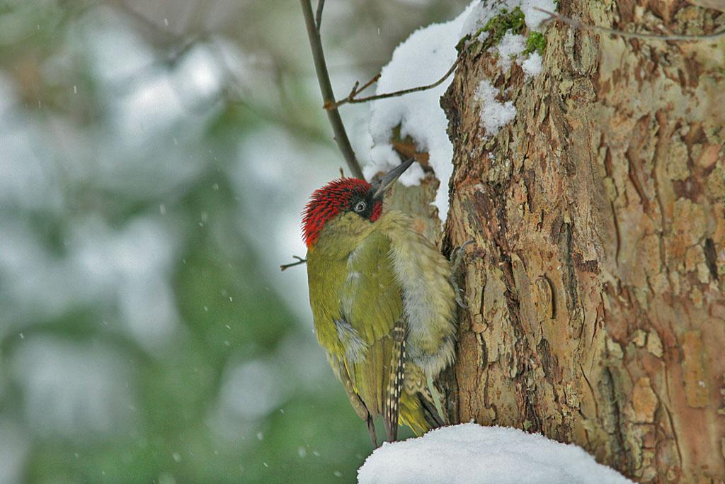 Groene specht - Green Woodpecker 10/01/2010. Winter!