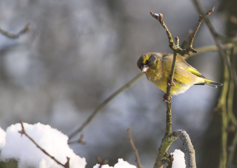 Groenling - Greenfinch 1/01/2009.