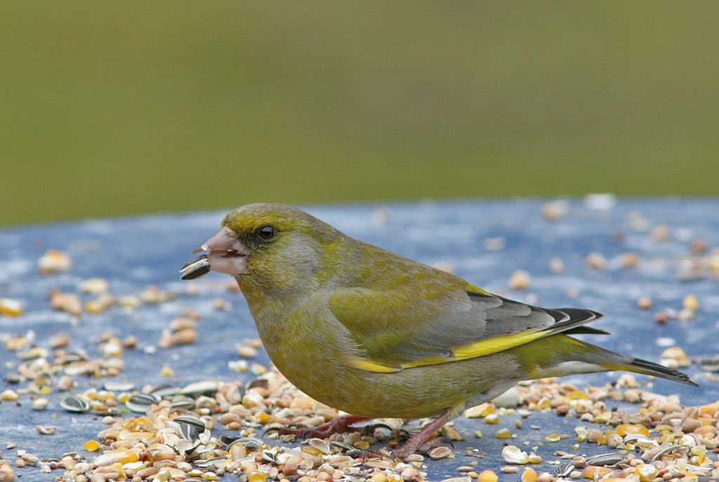 Groenling - Greenfinch 16/03/2006.