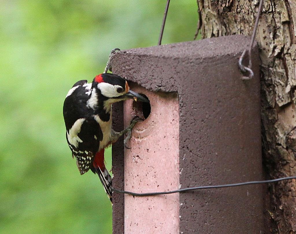 Grote bonte specht, Dendrocopos major, Great Spotted Woodpecker, azen, feeding, nestkast, bird house