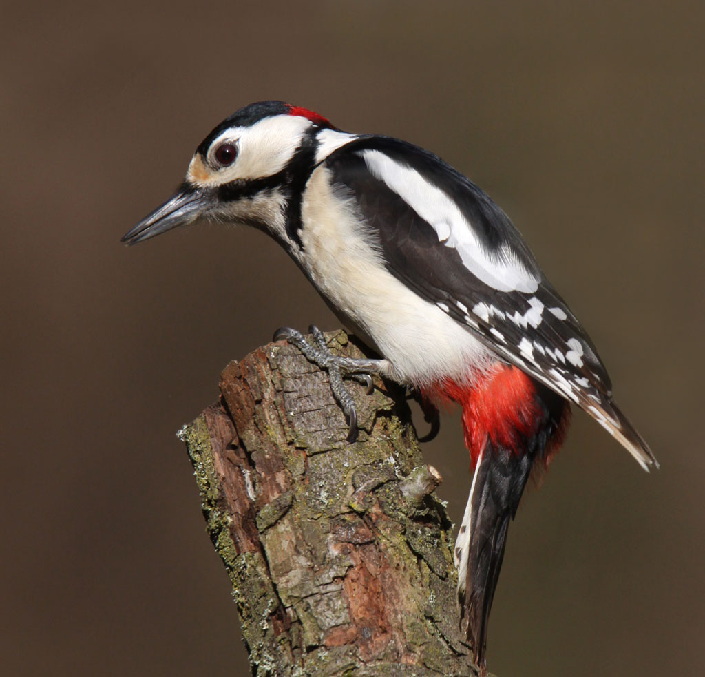Grote bonte specht, Dendrocopos major, Great Spotted Woodpecker