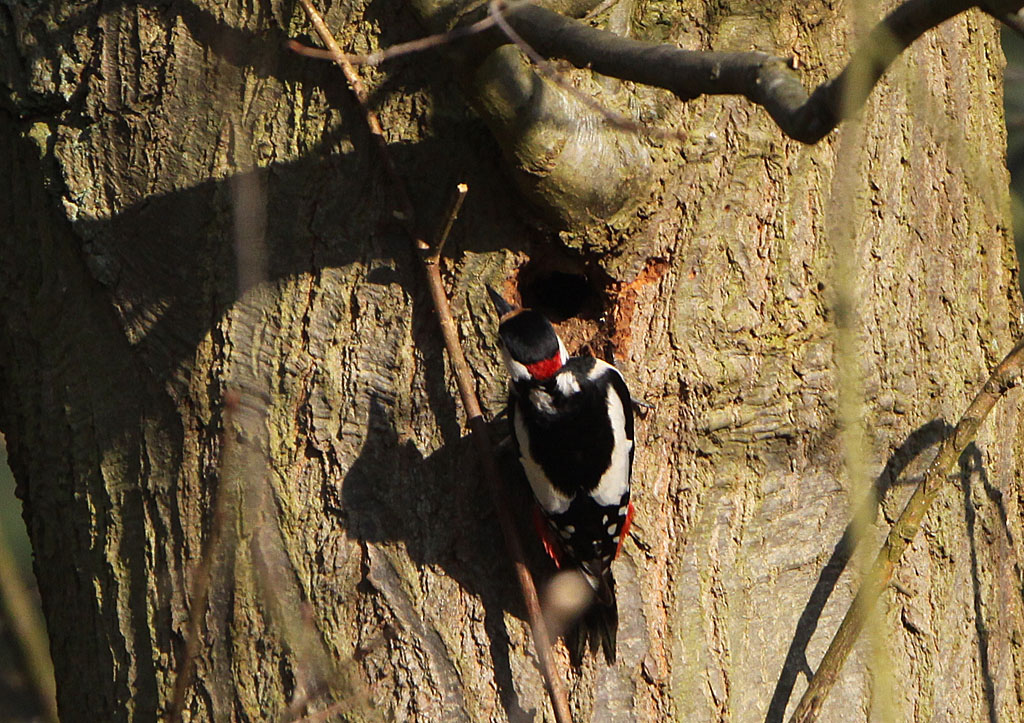 Grote bonte specht, Dendrocopos major, Great Spotted Woodpecker, nestelen, nesting