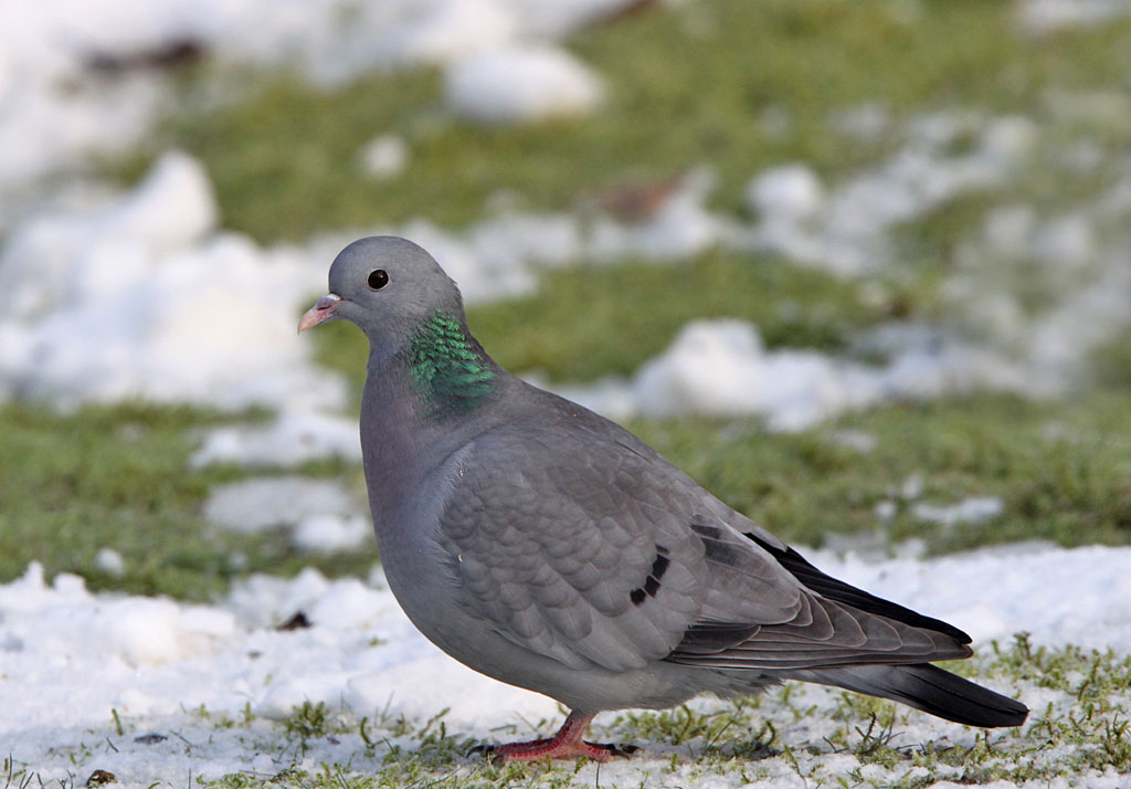 Holenduif - Stock Dove 23/01/2013.