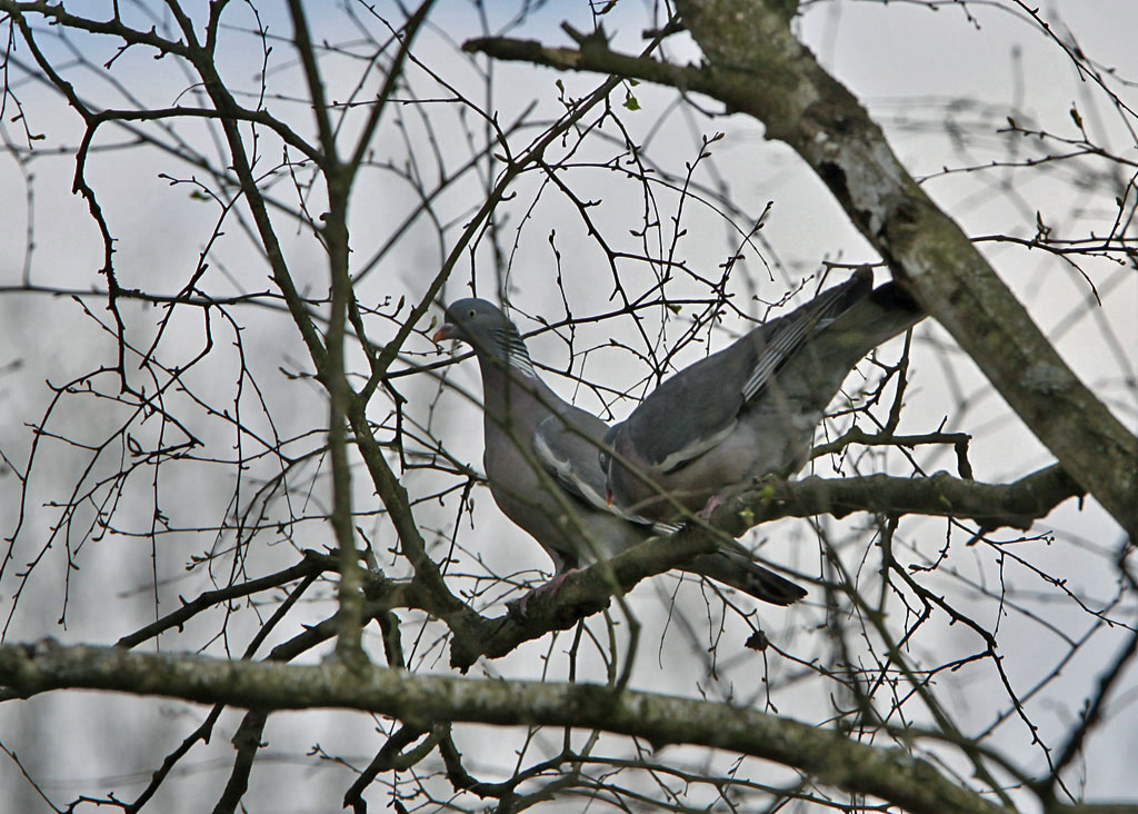 Houtduif - Wood Pigeon 1/04/2012. Balts.