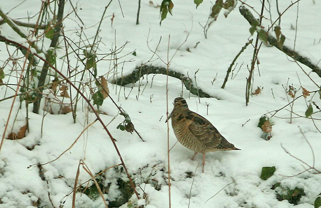 Houtsnip, Woodcock, Scolopax rusticola, foerageren, foraging, tuin, garden, winter, sneeuw, snow
