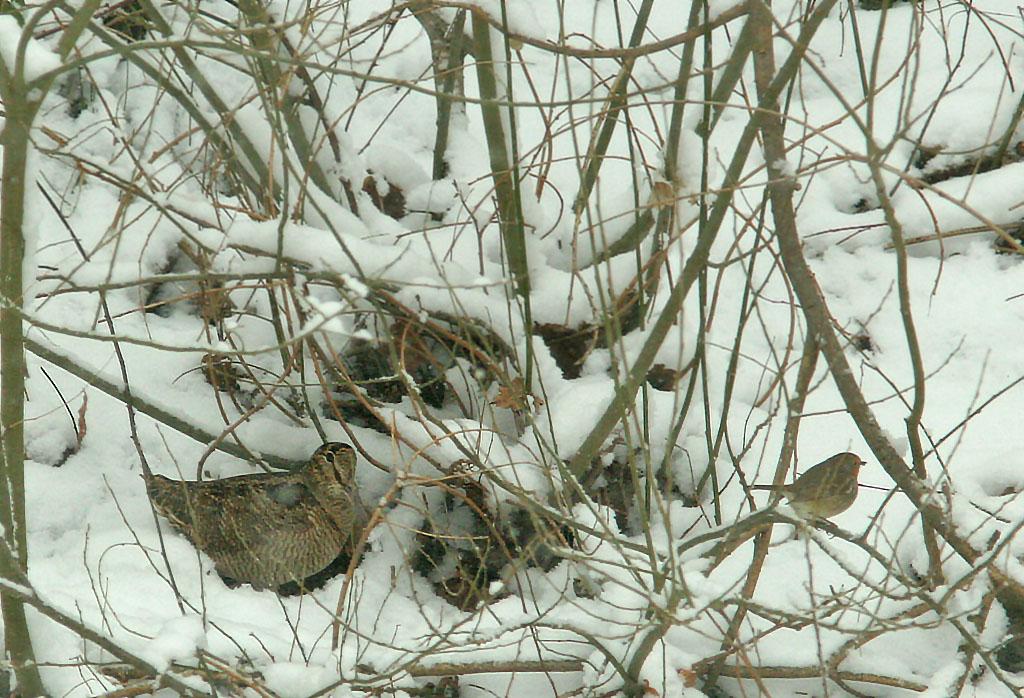 Houtsnip, Woodcock, Scolopax rusticola, foerageren, foraging, tuin, garden, winter, sneeuw, snow, robin, roodborst