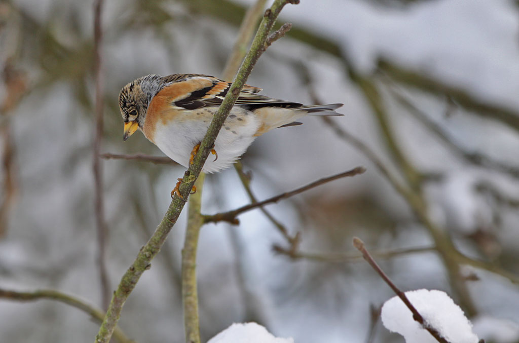 Keep - Brambling 25/12/2010. Winter.