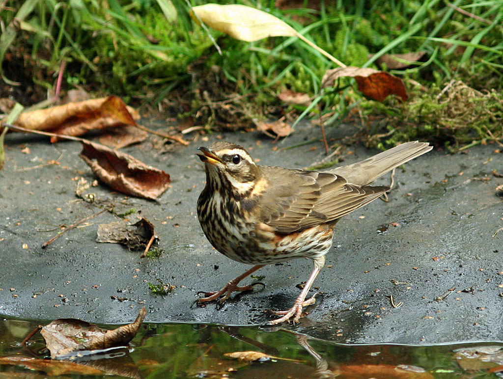 Koperwiek  -  Redwing  18/10/2010. Doorspoelen.