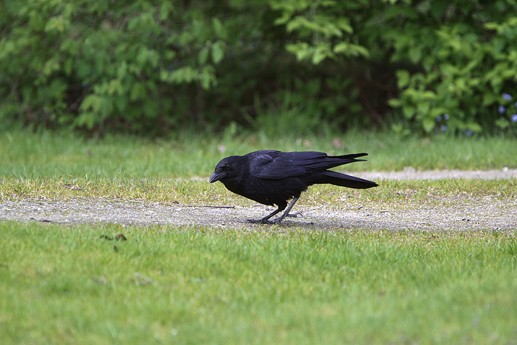 Kraai  -  Carrion Crow  22/04/2012.