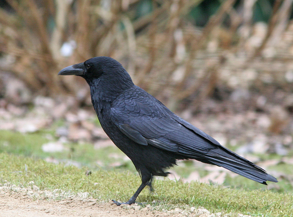 Kraai  -  Carrion Crow 16/03/2006.