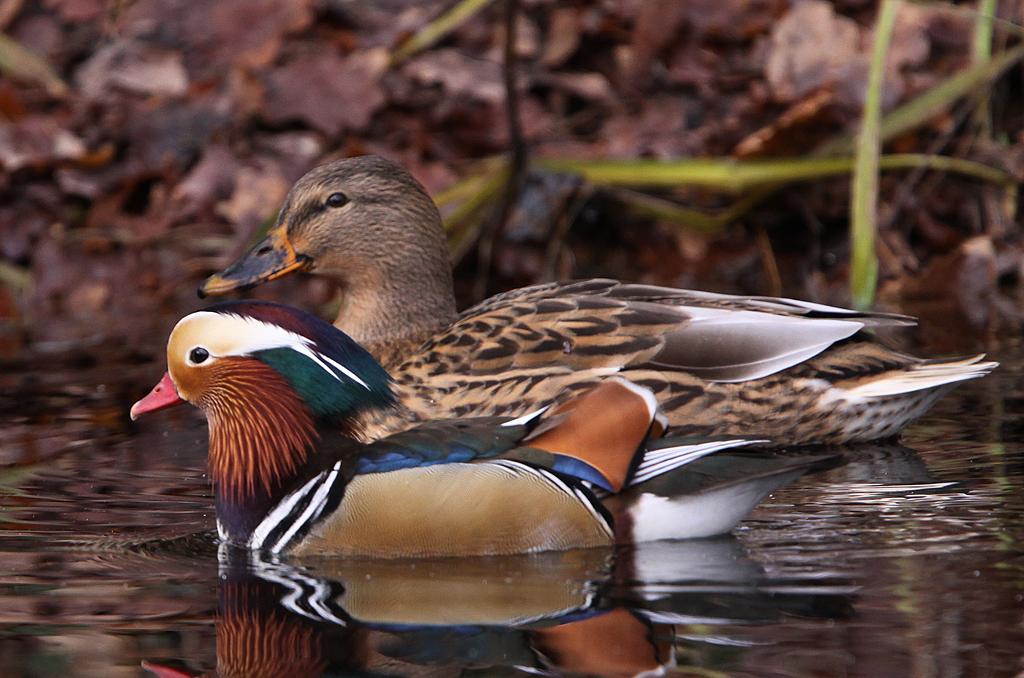 Mandarijneend  -  Mandarin Duck 15/12/2012. Mannetje zij aan zij met vrouwtje Wilde eend.