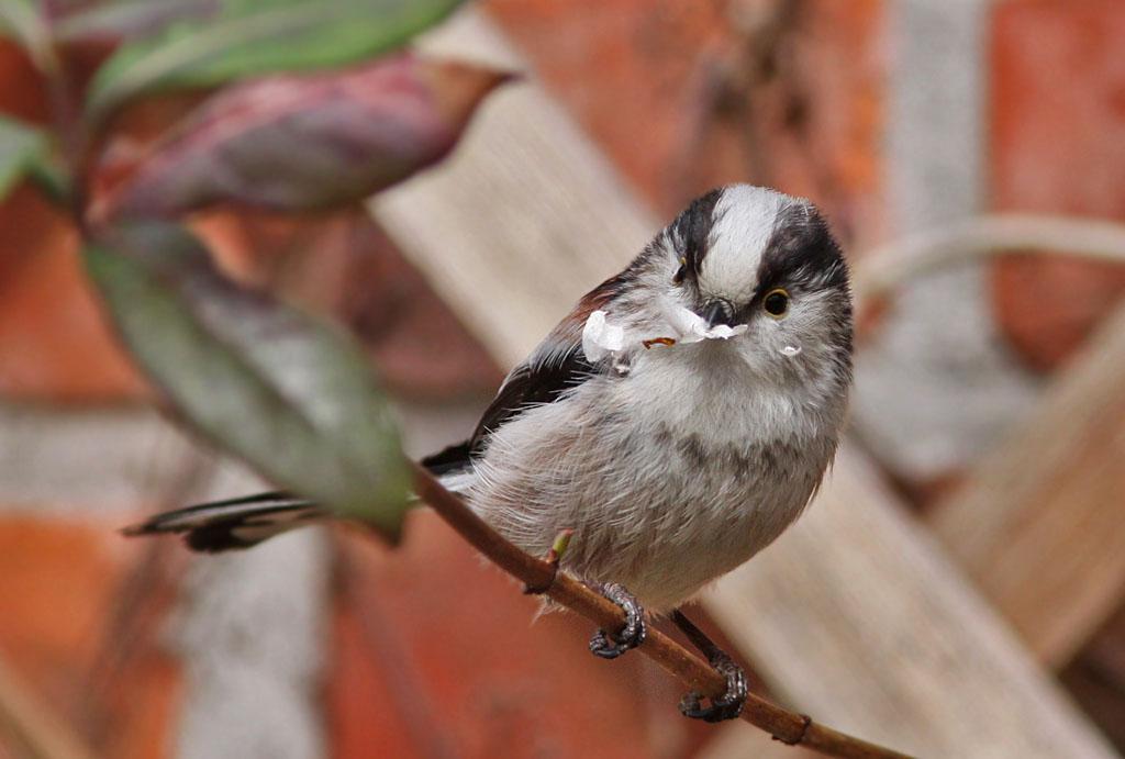 Staartmees  - Long-tailed Tit 15/03/2009. Berkenschors als nestmateriaal.