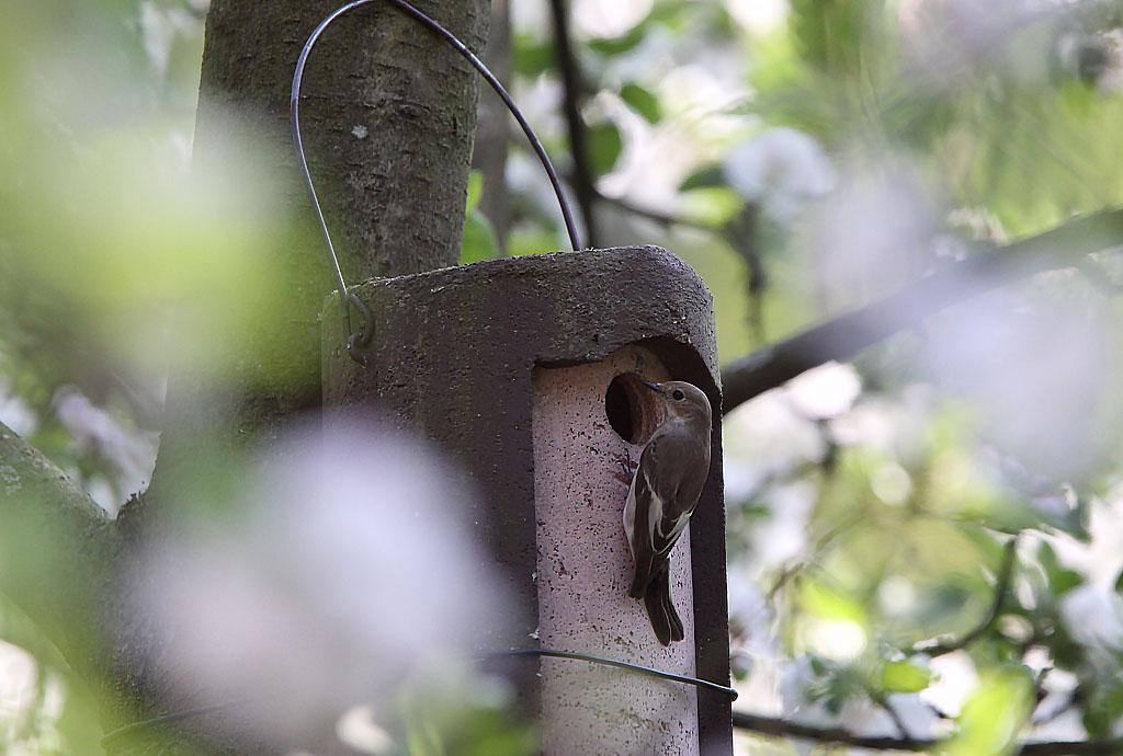 Bonte vliegenvanger - Pied Flycatcher 22/04/2011. Verkennen mezenkast in appelaar.