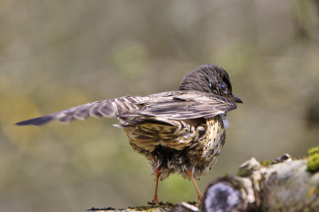 Grote lijster -  Mistle Thrush 16/04/2012. Eventjes vleugels schikken tijdens poetsbeurt.