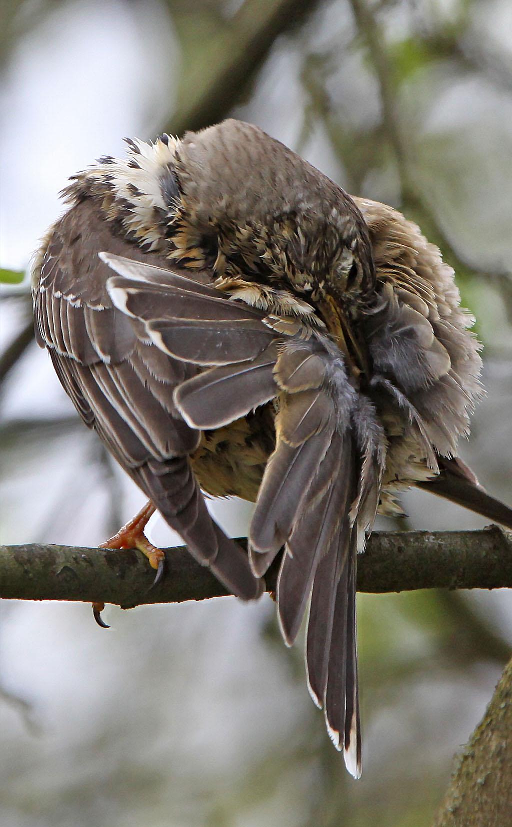 Grote lijster -  Mistle Thrush 22/04/2012. Grondige poetsbeurt.