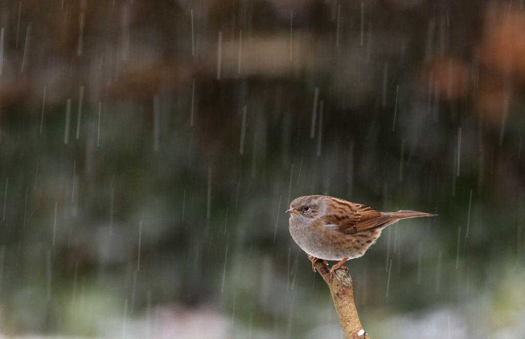 Heggenmus, Dunnock, regen, rain